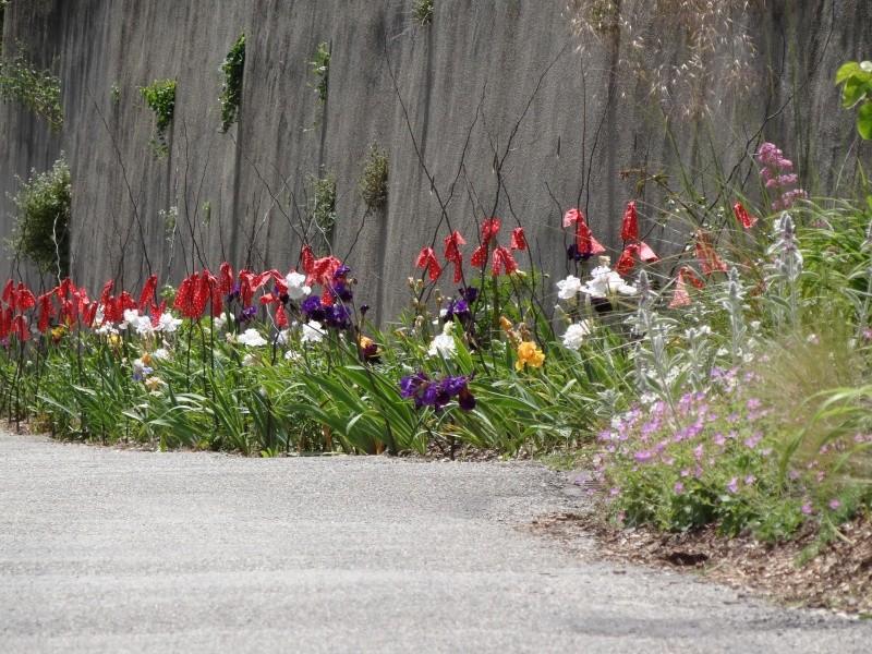 Floraisons 2016 de nos grands iris barbus et Bilan - Page 5 Dsc07710