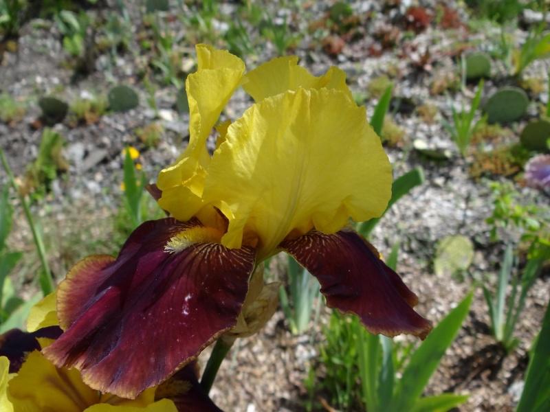 Floraisons 2016 de nos grands iris barbus et Bilan - Page 5 Dsc07717