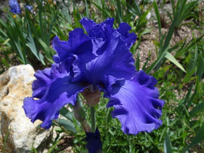 Floraisons 2016 de nos grands iris barbus et Bilan - Page 5 Dsc07718