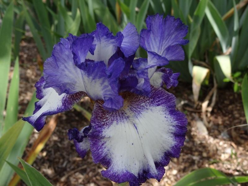 Floraisons 2016 de nos grands iris barbus et Bilan - Page 5 Dsc07721