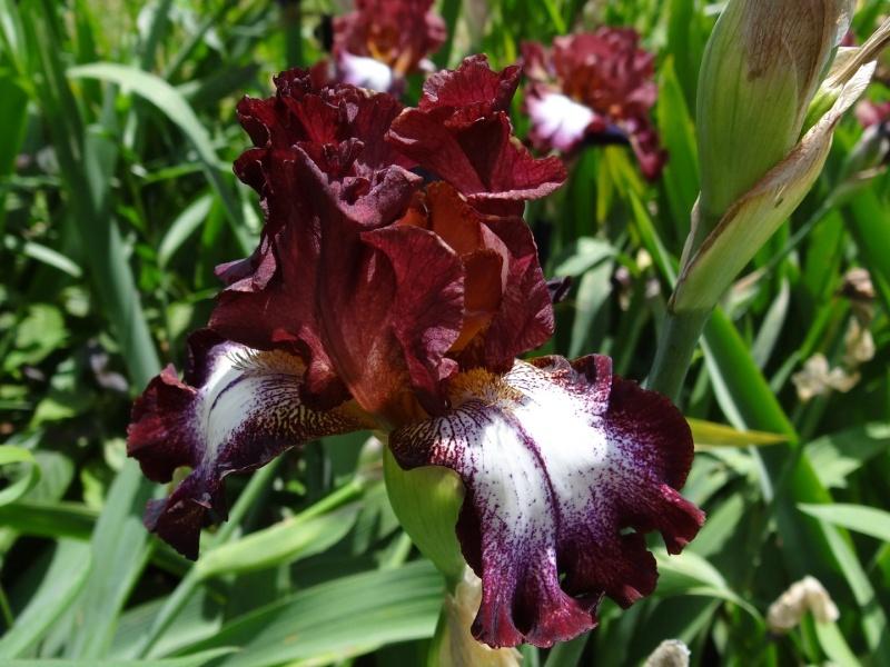 Iris 'Moïse' - Virginie Fur (enreg. Laporte) 2004 Dsc07810