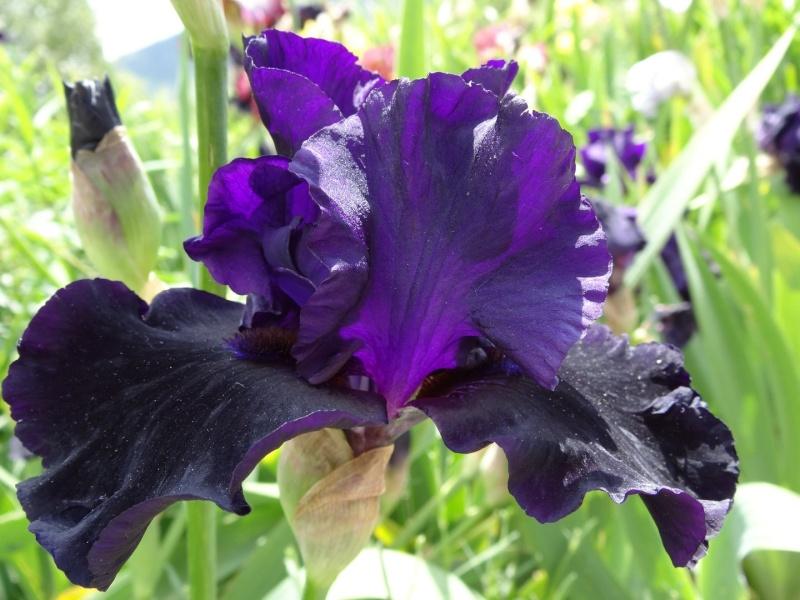 Floraisons 2016 de nos grands iris barbus et Bilan - Page 5 Dsc07811