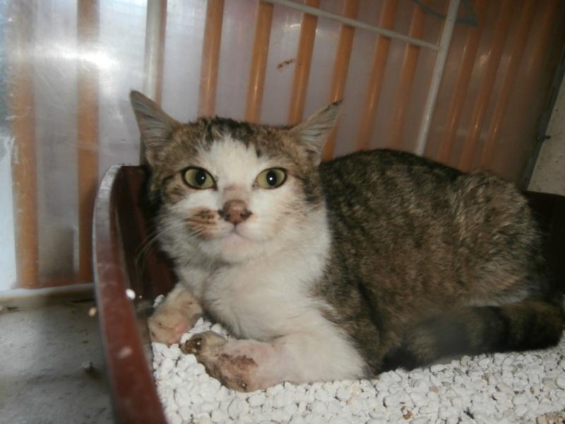 EXIL (chaton européen tigré et blanc) P4064015