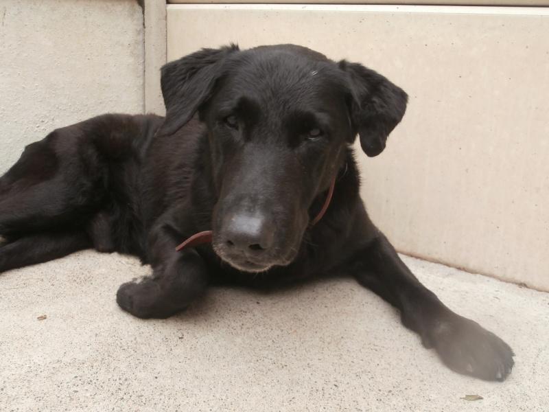 LEON (croisé labrador) P4233810