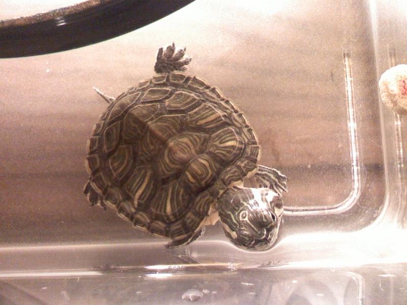 petite tortue de floride 10150910
