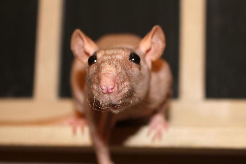 Les ratons de Random 4111