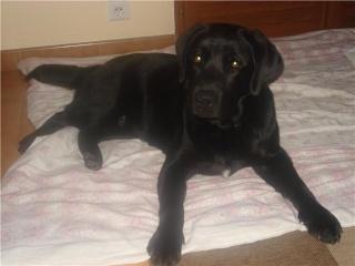Labrador noir Malko110