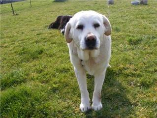 Labrador F 8 ans, Groendal x Husky M 12 ans (allier) Paddy_10