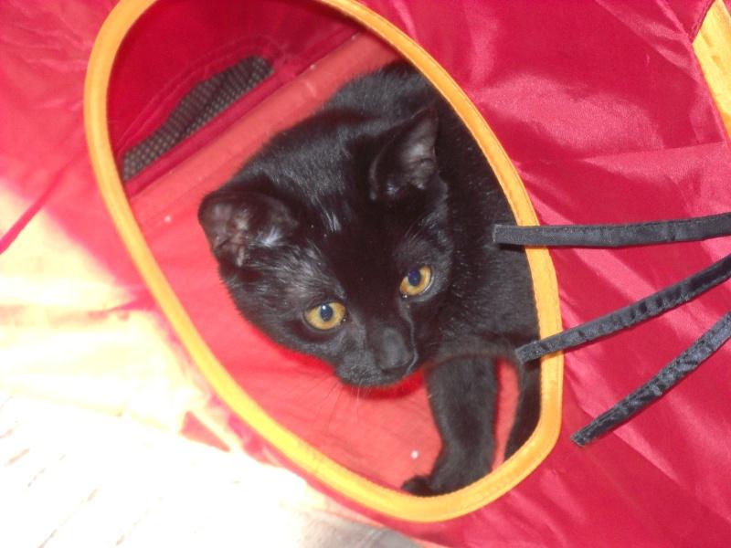 Eole chaton noir de 5 mois 67 Dscn0919