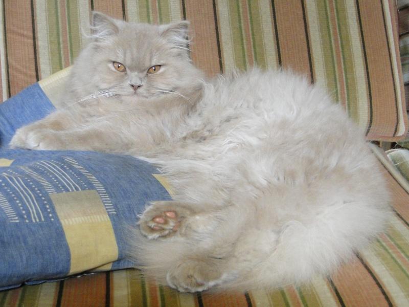 Des chatons british et scottish - Page 2 Dsc04410