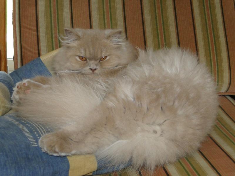 Des chatons british et scottish - Page 2 Dsc04411