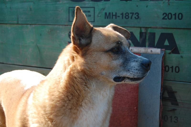 REXOU - mâle croisé, taille moyenne, né en 2009 - URGENCE, plus de 2 ans de refuge (CARMINA BUCAREST) - Adopté en Ecosse Rexou110