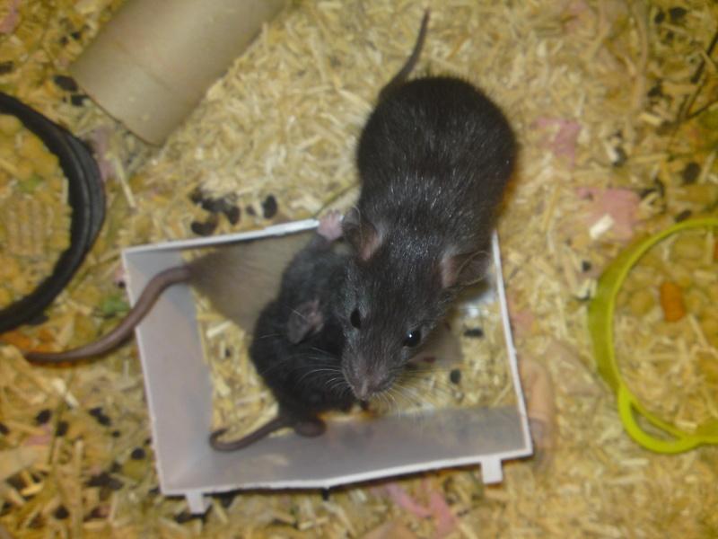 Ratons noir et siamois, lisse et rex dans le 30! +photo!! Dsc00210