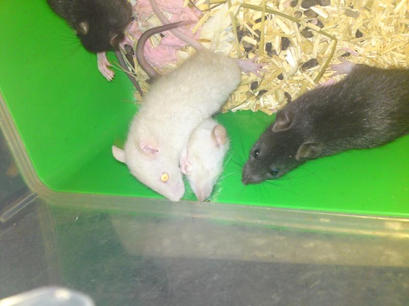 Ratons noir et siamois, lisse et rex dans le 30! +photo!! Dsc00213