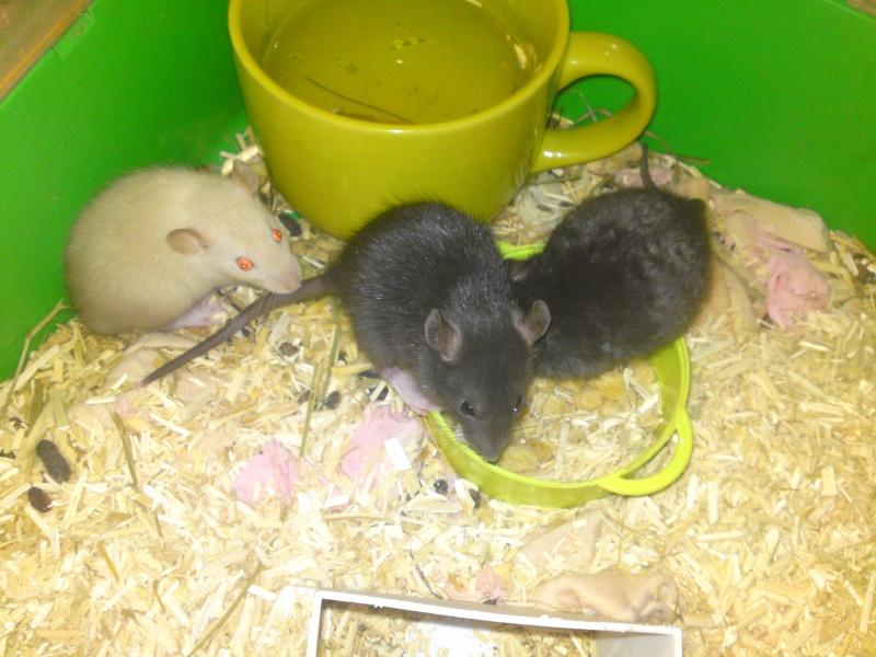 Ratons noir et siamois, lisse et rex dans le 30! +photo!! Dsc00215
