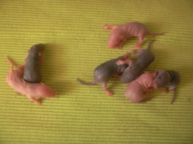 Ratons noir et siamois, lisse et rex dans le 30! +photo!! Photo310