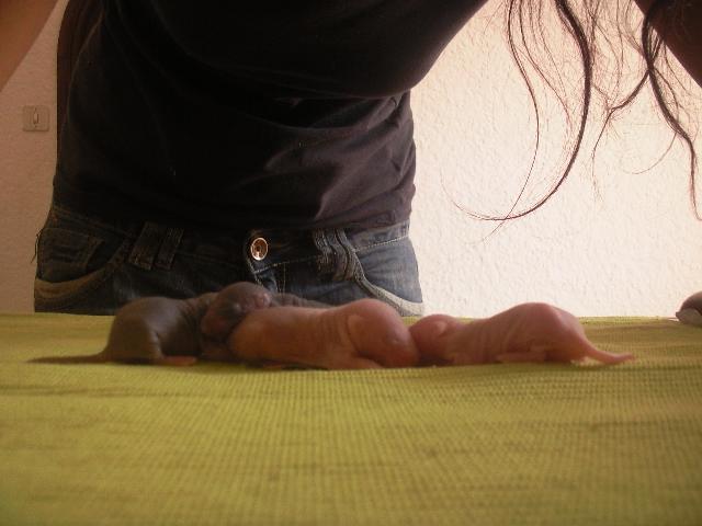 Ratons noir et siamois, lisse et rex dans le 30! +photo!! Photo313