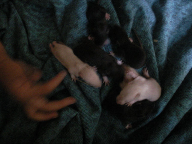 Ratons noir et siamois, lisse et rex dans le 30! +photo!! Photo410
