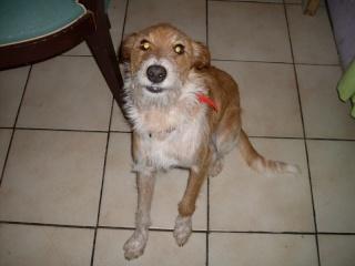 Caline, chienne 15 mois, en refuge dans l'Isère _cal_210