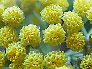 Plante à curry 4d84_310