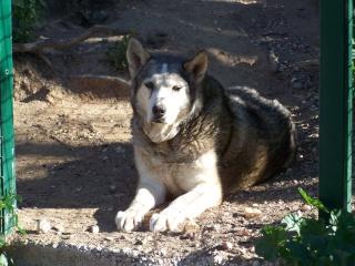 HURON - mâle husky de 11ans né en 1998 dans le (83)DECEDE - Page 3 01_hur10