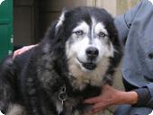 Gavroche husky mâle de 15 ans Bretagne (INZINZAC) (56)DECEDE 4481d410