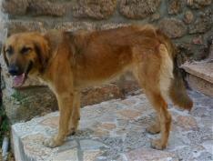 PISCO,  adorable croisé berger belge mâle de 3 ans [ adopté ] _wsb_210
