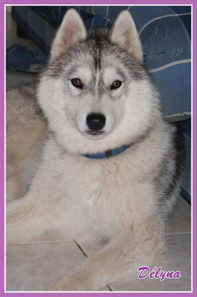 Délyna Husky Femelle 7mois Asso Nunavik (91) adoptee Delyna12