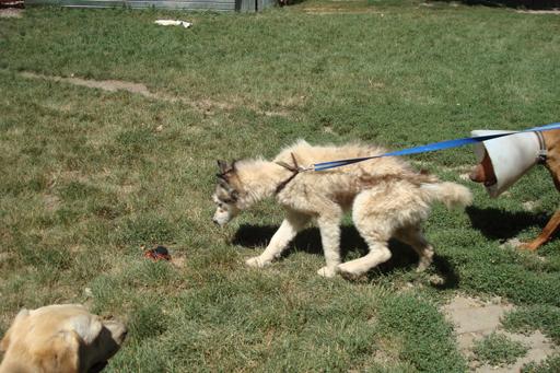 Mala, type husky de 4-5 ans mâle Refuge Etela Husky111