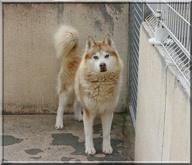 CHARLIE, superbe Husky roux, attend depuis trop longtemps: 10 ans REF51DECEDE Img_4510