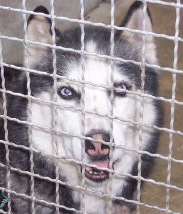 FALCO male husky de 11 ans SAUMUR (49) Newsau10