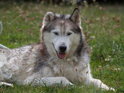 NICE husky mâle de 12ans et demi en RP Sud (91 ADOPTE Nice110