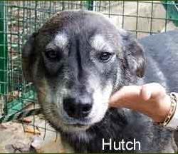HUTCH x husky 1 an  refuge des berauds REF (26) ADOPTE Sans_t12