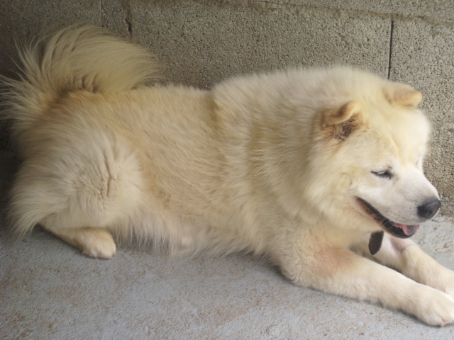 SHARKY XCHOW CHOW 9 ANS FAM independant et calin ( 07 DECEDE - Page 2 Sharky10