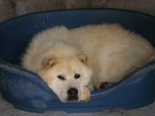 SHARKY XCHOW CHOW 9 ANS FAM independant et calin ( 07 DECEDE - Page 2 Sharky11