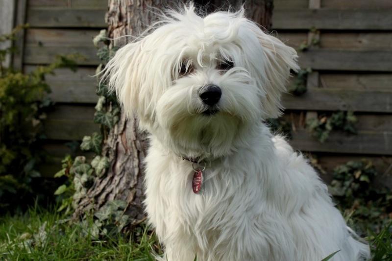 Les chiens de Marie Antoinette Bichon10