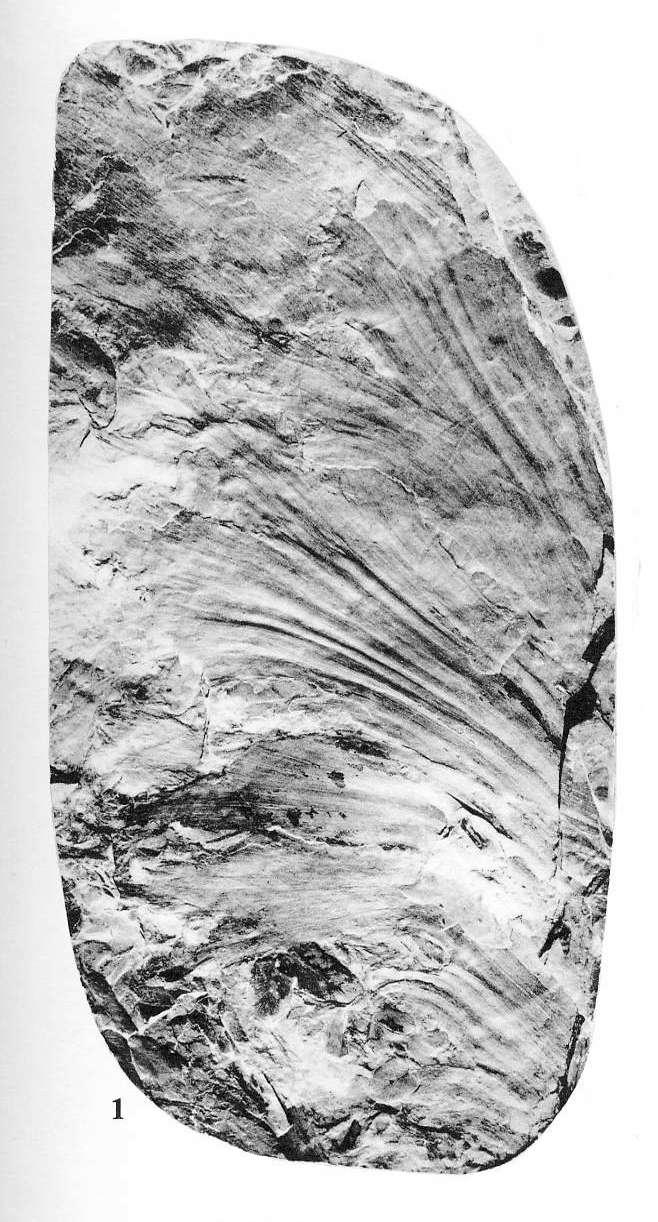 Flore Carbonifère des Alpes Françaises part 1 - Page 4 File3810