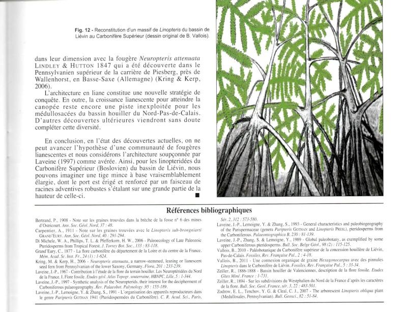 Linopteris Presl , 1838.    Hexagonocarpus Renault ,1890. Img00710