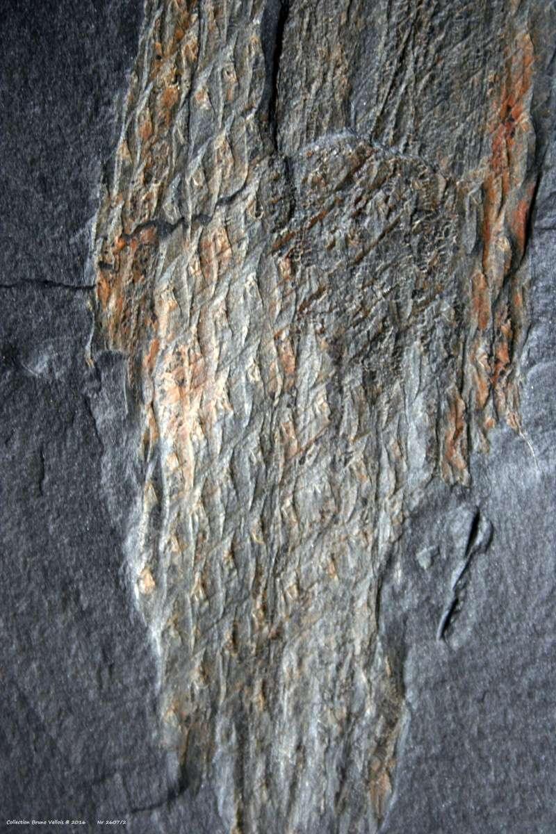 Flore Carbonifère des Alpes Françaises part 1 - Page 4 Img_4214