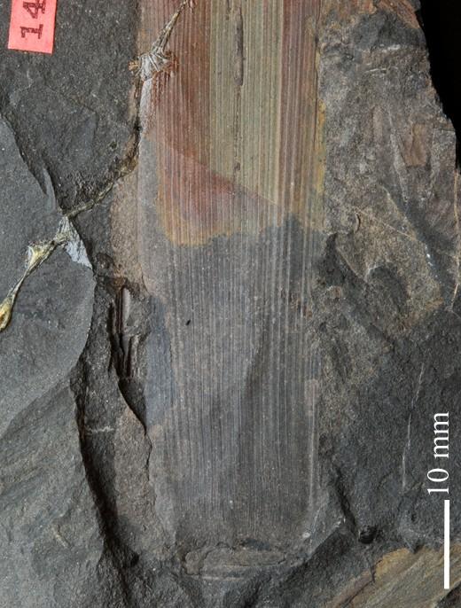 Flore Carbonifère des Alpes Françaises part 1 - Page 5 S1382910