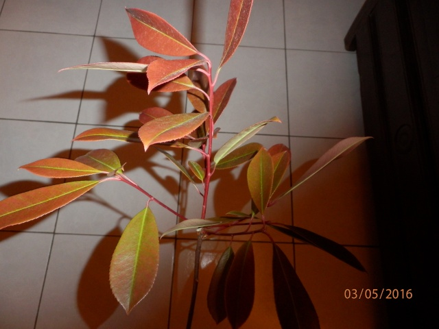 Est des feuilles de laurier tim ? P5030110