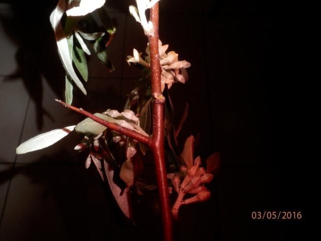 Quel est le nom de cet arbuste P5030112