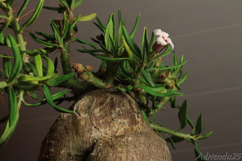 Pachypodium bispinosum Img_4910