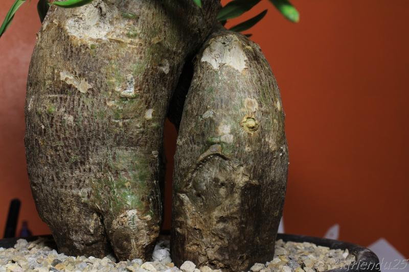 Pachypodium bispinosum Img_4912