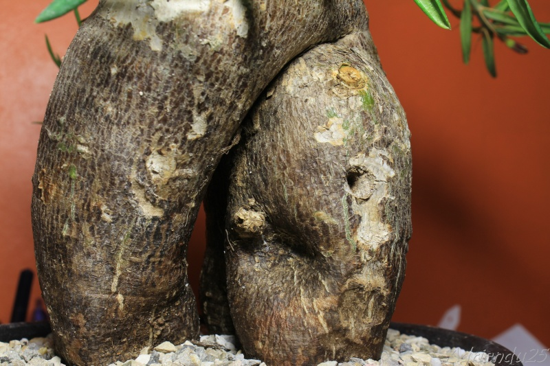Pachypodium bispinosum Img_4913