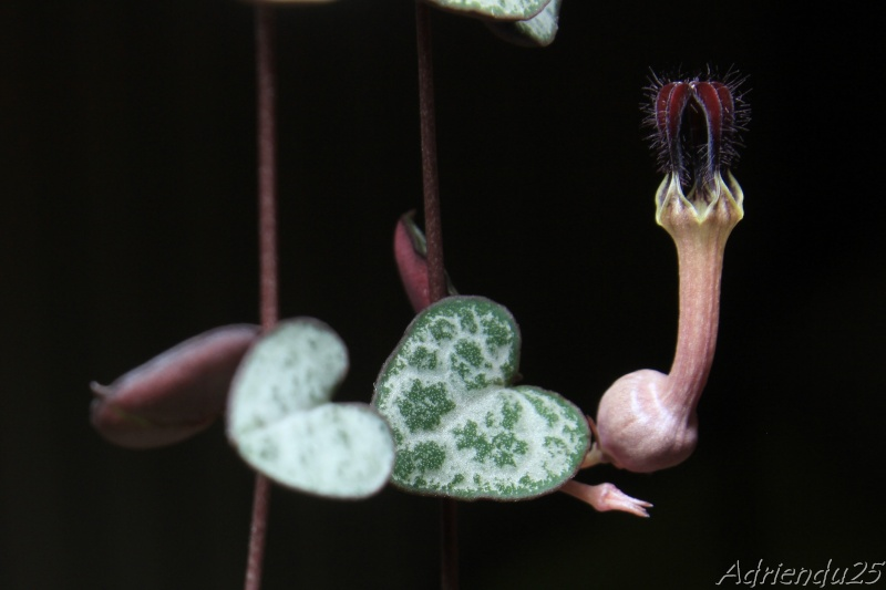 Ceropegia woodii Img_5017