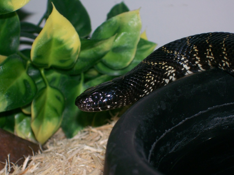 Recent pic's of some of my herps 100_2027
