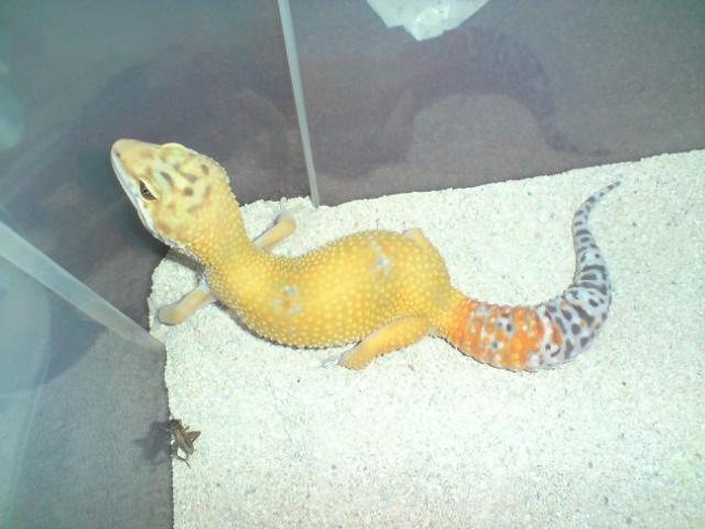 Thinking of starting up a Leopard Gecko colony again Carrot11