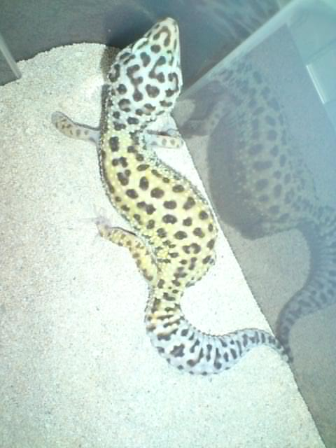 Thinking of starting up a Leopard Gecko colony again Patter10