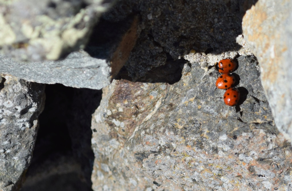 Coccinelidae 02-24-10
